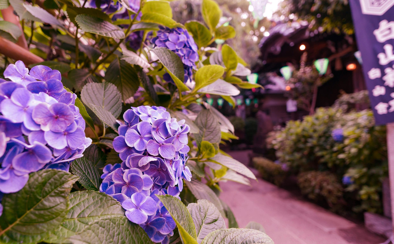 紫陽花が濡れそぼる頃 19(オヤジの小説・全33話)